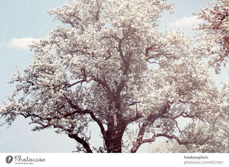 weiß blühender alter Baum Baumkrone Frühling Blüte erblühen Blütenpracht romantisch Leichtigkeit weiss zart frisch Frühlingsgefühle Naturliebe frühlingszeit