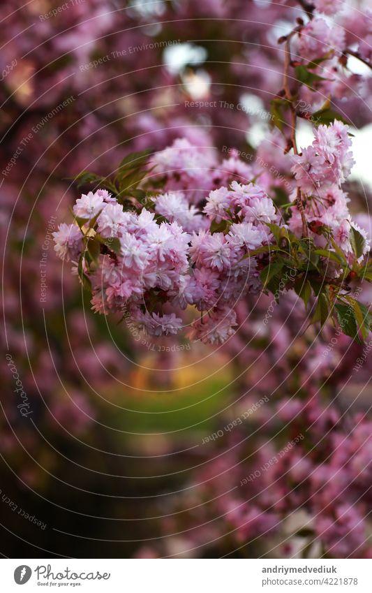Zweige eines Baumes, ein Busch mit rosa Blüten Frühling. schöne rosa blühende sakura Blume Buchse Überstrahlung Hintergrund Garten Natur Nahaufnahme Pflanze