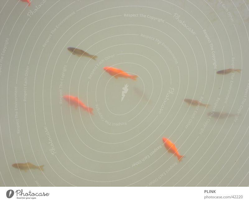 Heaven is a Fischsuppe Wasser rot ruhig grau Fisch trüb Goldfisch