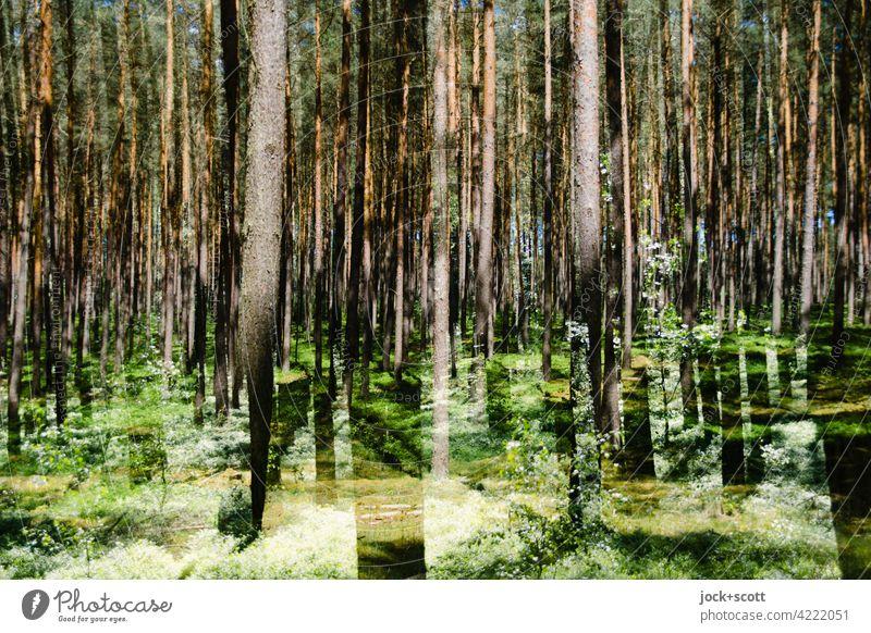 back to the roots   den Wald vor lauter Bäume sehen Nadelbäume Baumstamm Natur Umwelt Naturschutzgebiet Doppelbelichtung Waldboden Nadelwald Lichterscheinung
