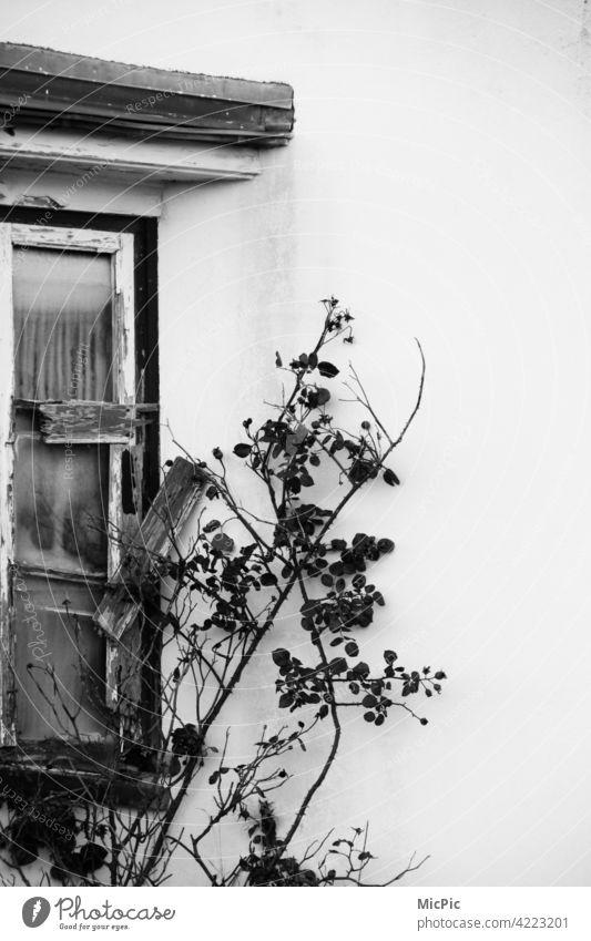 Vergänglichkeit - altes Fenster mit Rosenranke in schwarz weiss Einsamkeit verfallen Ruine Verfall kaputt Gebäude Haus Vergangenheit Fassade Wand Mauer