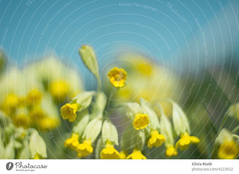 Schlüsselblumen vor blauem Himmel an einem Frühlingstag schlüsselblume Blume Natur gelb Blüte Nahaufnahme Farbfoto Pflanze Blühend Garten natürlich Menschenleer