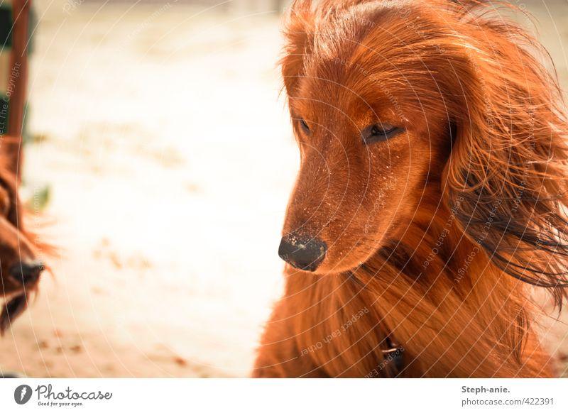 Der Denker Hund Ferien & Urlaub & Reisen Sommer rot ruhig Tier Strand Gefühle Denken Sand träumen Stimmung orange gold Wind Zufriedenheit