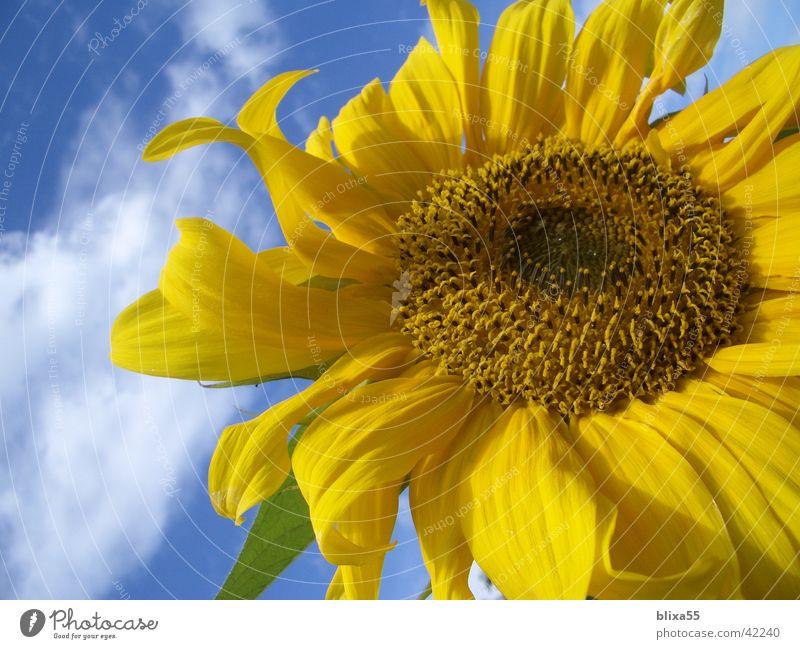 Blütenpracht Sonnenblume gelb Natur Wolken hell-blau Kerne Hildesheim Blume Freundlichkeit Vergänglichkeit Makroaufnahme Nahaufnahme Himmel wolkiger himmel