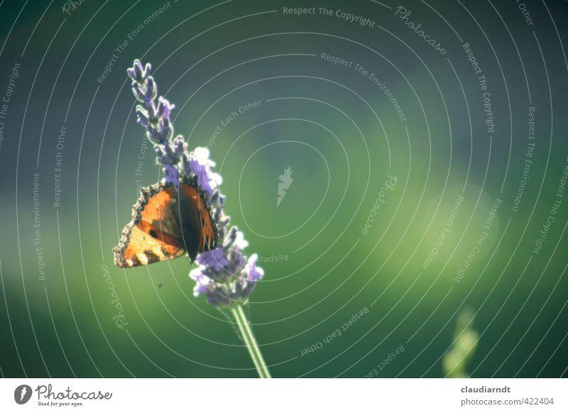 Kleiner Fuchs Natur schön grün Pflanze Sommer Blume Tier Blüte natürlich Garten orange fliegen Schönes Wetter ästhetisch Flügel violett