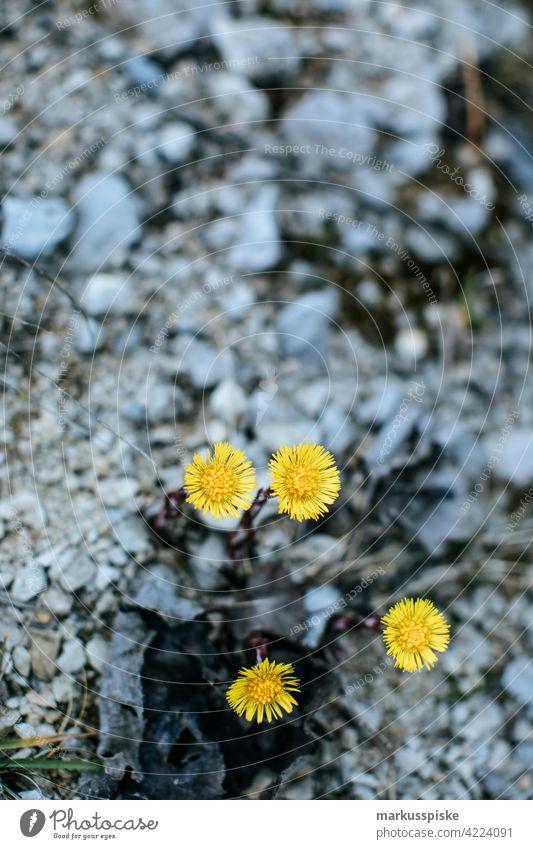 Löwenzahn schön Schönheit Farbenpracht Blütezeit Bokeh hell braun Haufen Nahaufnahme farbenfroh Landschaft Phantasie Flora geblümt Blume Blumen Toilettenspülung