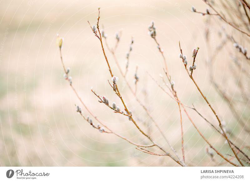 Frühlingslandschaft mit Bäumen mit blühender Trauerweide auf weichem unscharfem Hintergrund. Schöne Osterzweige in sanften Farben mit selektivem Fokus