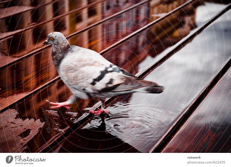 Linkszwodreivier Wasser Tier Taube stagnierend Brunft