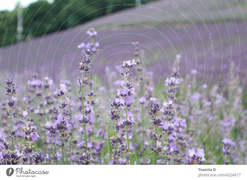 Lavendelfeld purpur Japan Sommer Blume Blüte violett Natur Garten schön Lavendelfarm Nahaufnahme Liebe Landschaft atemberaubend Hintergrund Hintergrundbild