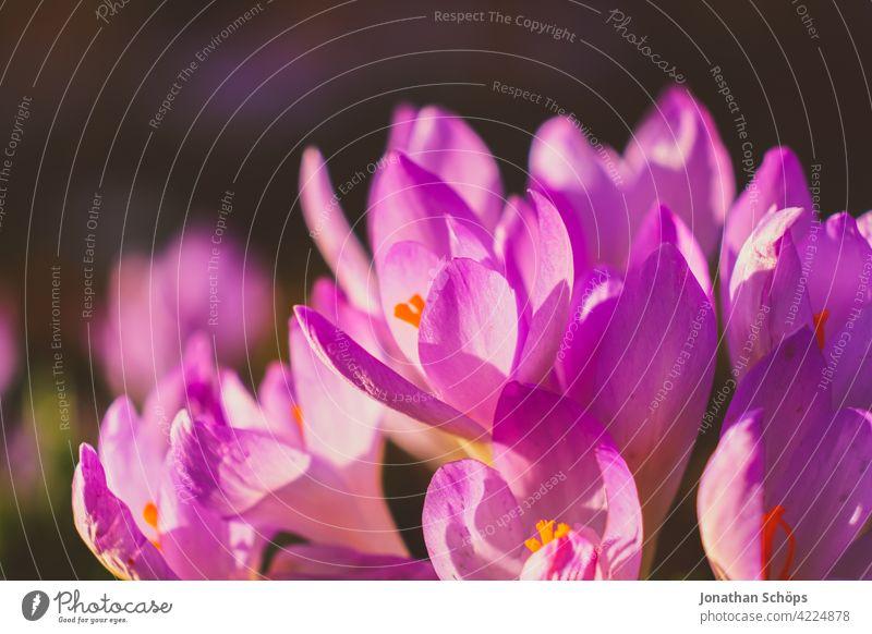 Frühblüher Krokus Makroaufnahme violett Schwache Tiefenschärfe Licht Tag Menschenleer Detailaufnahme Nahaufnahme Außenaufnahme mehrfarbig Farbfoto Blühend