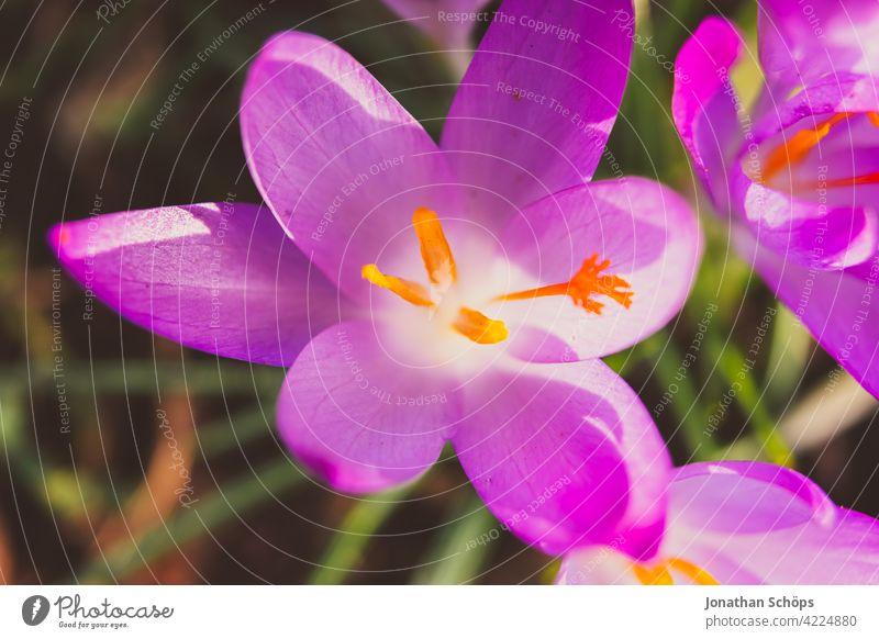 Frühblüher Krokus Makroaufnahme violett Draufsicht Schwache Tiefenschärfe Licht Tag Menschenleer Detailaufnahme Nahaufnahme Außenaufnahme mehrfarbig Farbfoto