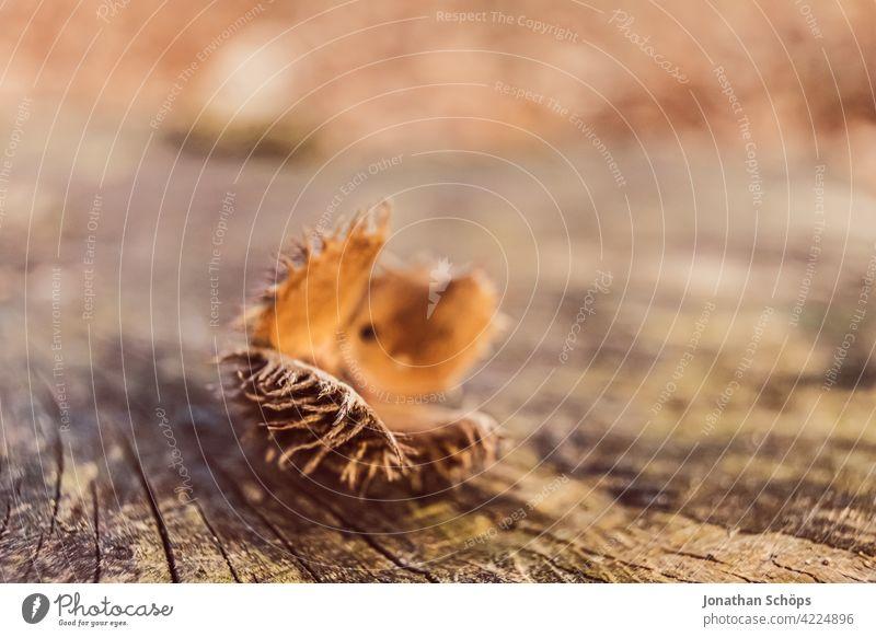 Buchecker Makro auf einem Baumstumpf im Wald im Herbst orange braun Natur Außenaufnahme Farbfoto natürlich Textfreiraum