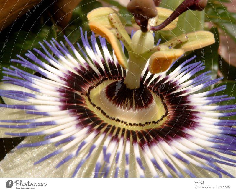 Passion Natur schön Sonne Blume Blüte Kreis außergewöhnlich aufwärts gegen Stempel strahlend Kranz Kletterpflanzen Passionsblume
