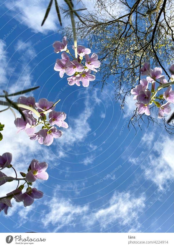 Wiesen-Schaumkraut von unten Wiesenschaumkraut Wild Flora Wildpflanze Außenaufnahme Wiesenblume Blüte Pflanze Farbfoto Tag Blume Menschenleer Blühend Frühling