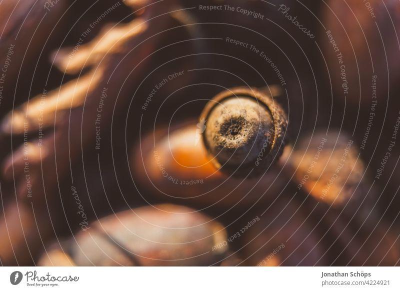 Makro Eichel im Wald im Herbst Bodenbelag Eicheln braun Makroaufnahme Nahaufnahme rund rot Außenaufnahme Vergänglichkeit Natur Schwache Tiefenschärfe