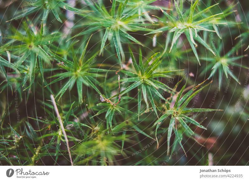 Goldenes Frauenhaarmoos Polytrichum commune Makro Schwache Tiefenschärfe Tag Menschenleer Nahaufnahme Waldboden bewachsen weich Farbfoto Außenaufnahme Moos