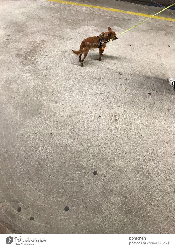 ein kleiner Hund an einer Hundeleine wartet auf die U-Bahn. Zug, Bahnsteig hund hundeleine angeleint haustier bahnsteig warten passagier u-bahn zug Tier beton