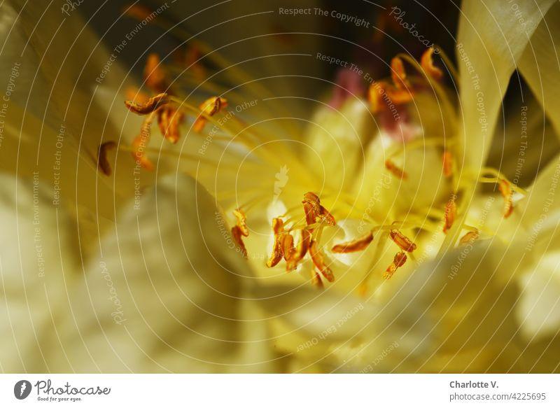 Pfingstrosenblütenstempel Blüte Blütenstempel Blütenblätter Blütenkelch Natur natürlich Blume Pflanze Makroaufnahme Schwache Tiefenschärfe Farbfoto