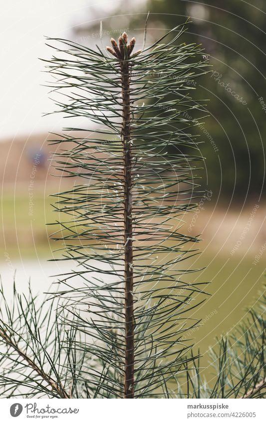 Tannenzweig Bokeh abschließen Konifere Koniferenwald Nadelwald Aushärten geschnitten dichter Wald trocknen Tannenzapfen Forstwirtschaft Frucht Brennholz
