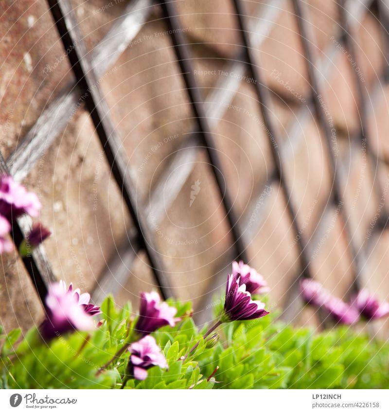 Blumen am Rankengitter blumen garten wachsen rankengitter Hilfe Helfen holz natur balkon draußen hobby gärtnern Sommer zuhause Wachstum Gartenarbeit Frühling