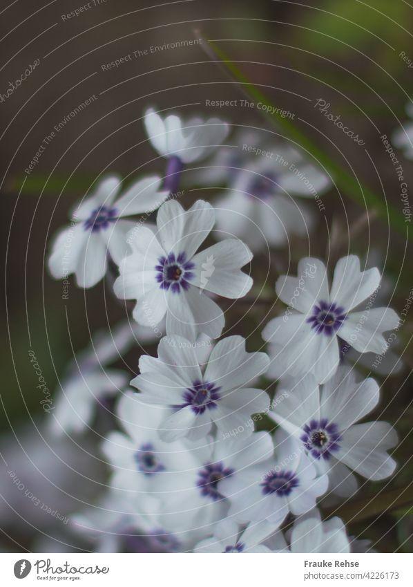 Polsterphlox Bavaria - Blüten in weiß und blau Moos Phlox violett lila blühen blühend zart Frühling Garten Frühlingsblüher Blütenteppich zierlich Bodendecker
