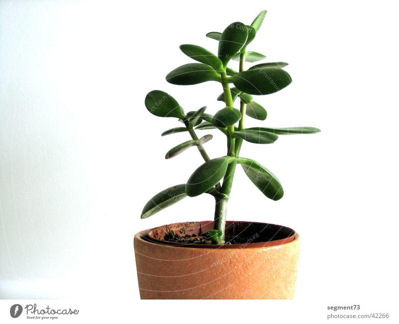 Blume weiß Blume grün Pflanze Blatt Wand frisch Topf Zimmerpflanze