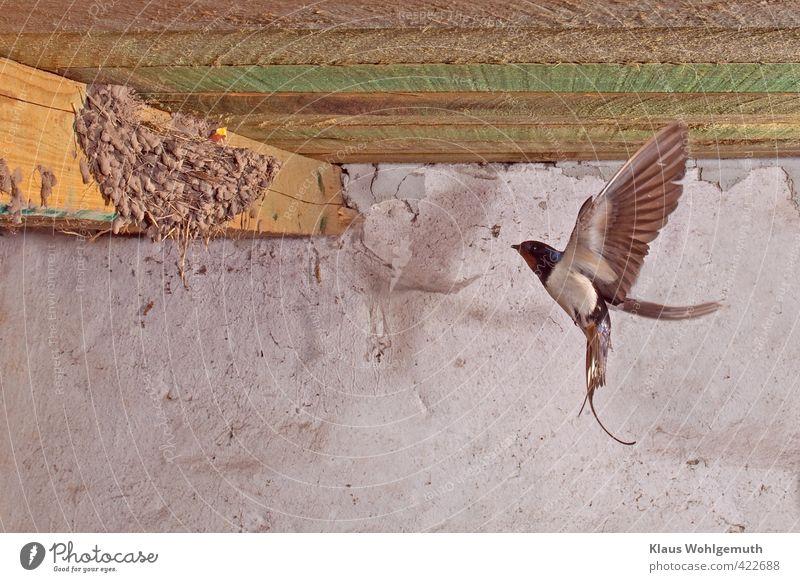 Heimkehr Sommer Bauwerk Gebäude Stall Scheune Mauer Wand Dach Wildtier Vogel Tiergesicht 2 Tierjunges fliegen füttern blau braun grau grün schwarz weiß Nest