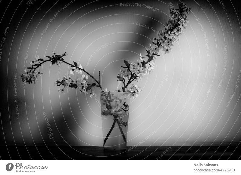 zwei Zweige mit Pflaumenblüten im Glas Baum Pflanze vereinzelt Natur Blume Ast weiß Frühling Blatt grün Blüte Blumen Blätter rosa Wachstum Saison