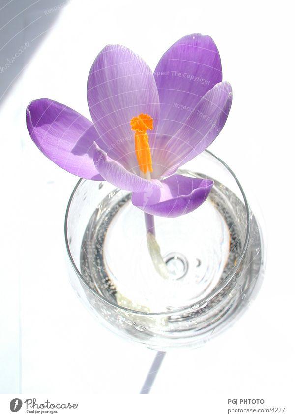 Liebes-Prozess Krokusse Blume violett Stil Glass Natur Farbe
