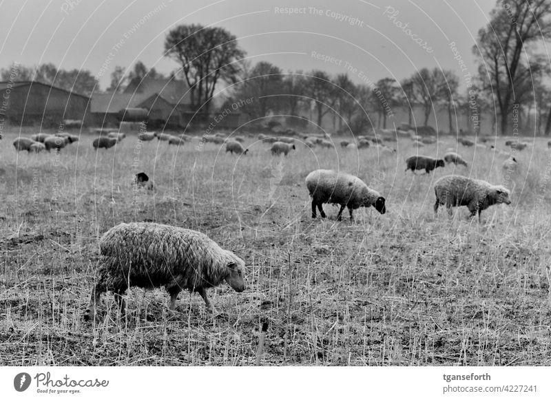 Schafe im Regen Schafherde nass Wolle Nutztier Außenaufnahme Herde Natur Wiese Tier Tiergruppe Landschaft Gras Weide Fressen Menschenleer Schafswolle Tag