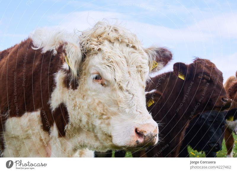große weiße Kuh und braun hübsche Farben Schaftstirn grün Bulle Naturschutzgebiet natürlich Porträt niedlich Gras Feld silverdale wild melken Land Ackerbau