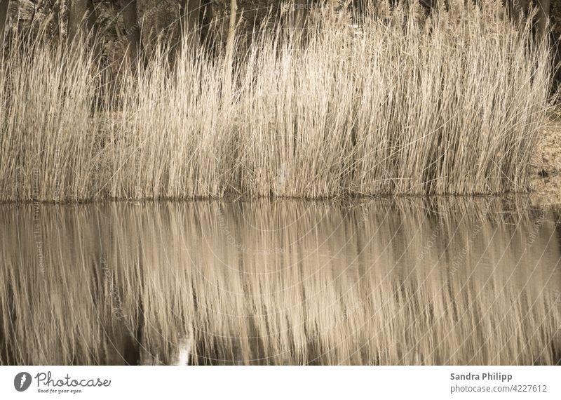 Spiegelung von hellbraunem Schilf Wasser Reflexion & Spiegelung Seeufer Idylle Umwelt Landschaft Außenaufnahme Natur ruhig Farbfoto Erholung friedlich