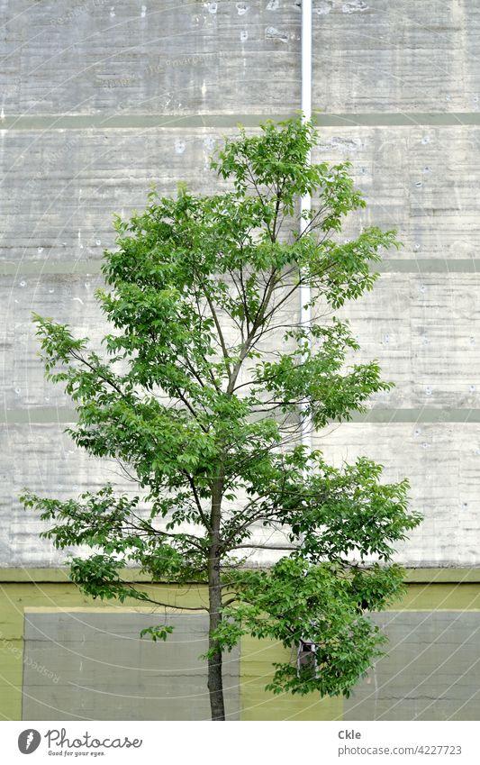 Baum mit Bunker Grün Beton Fassade Regenrohr Wand Mauer Außenaufnahme Farbfoto Menschenleer Gebäude Architektur Bauwerk Strukturen & Formen Muster Linie
