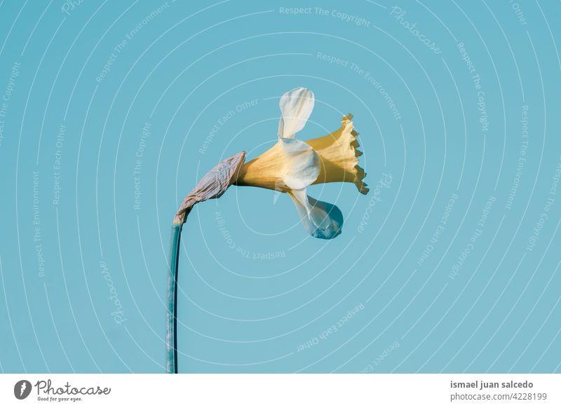 romantische gelbe Blume im Frühling Blütenblätter Pflanze Garten geblümt Flora Natur natürlich dekorativ Dekoration & Verzierung Schönheit Zerbrechlichkeit