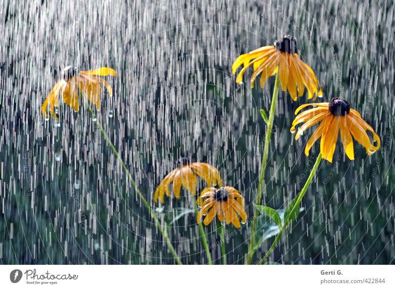 Es regnet auf den SonnenHut Regen Regenwasser Kühlung Wetterumschwung Wassertropfen nass schlechtes Wetter Sonnenlicht Blume Sonnenhut Pflanze gelb lichtvoll