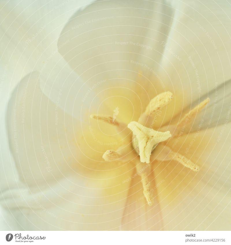 Stempelkissen Tulpe Nahaufnahme Detailaufnahme Blütenstempel gelb Farbfoto Botanik Blume Pflanze Natur Makroaufnahme natürlich klein weich Umwelt Außenaufnahme