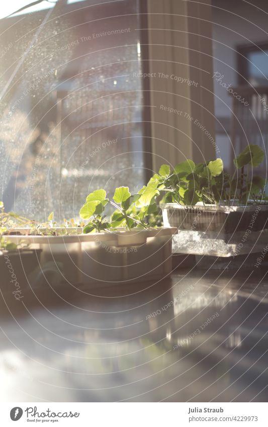 Gemüseanzucht in der Abendsonne im Wohmzimmer Gemüsepflanze Anzucht wane box Kürbispflanze Sonnenlicht Reflexion & Spiegelung diffuses licht Abendlicht