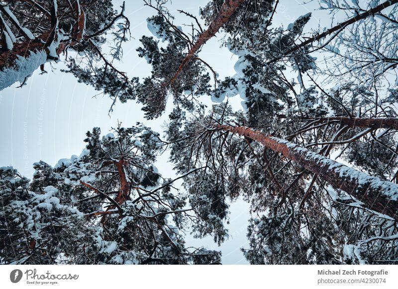 ein Blick nach oben auf schneebedeckte Baumkronen Schnee Winter im Freien Natur hoch Wald weiß Saison Hintergrund Himmel kalt Holz Tag Park schön Ansicht Frost