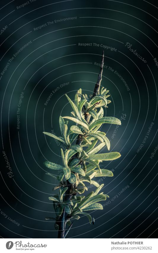 Dünenpflanze im Licht Pflanze grün Farbfoto Natur Außenaufnahme Umwelt Menschenleer Dünengras Küste