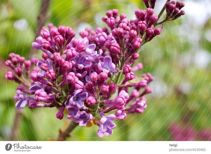 Fliederblüte Fliederstrauch Blüte Knospe Frühling duftend lila violett Nahaufnahme Natur Pflanze Duft Garten Schwache Tiefenschärfe Blühend Farbfoto
