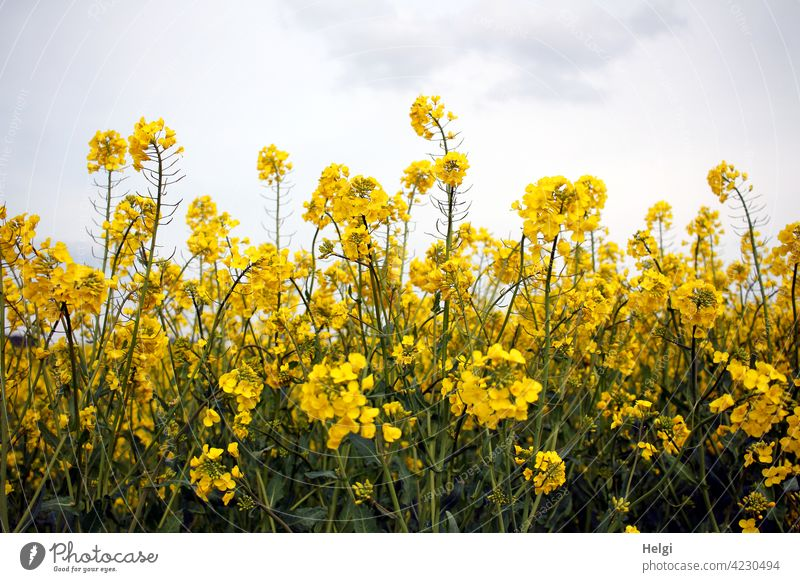gelbe Rapsblüten vor wolkigem Himmel Rapsfeld Frühling Landwirtschaft Feld Pflanze Natur Umwelt Außenaufnahme Nutzpflanze Menschenleer Farbfoto Landschaft Tag