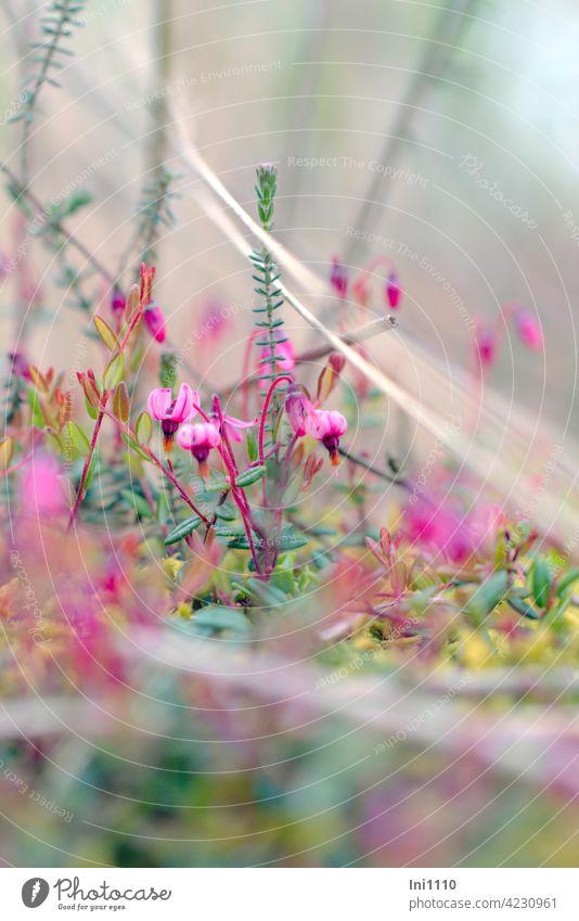 gewöhnliche Moosbeere Blüten und Blätter Heidekrautgewächs Vaccinium oxycoccos rosa Blüten Moor Moorboden Zwergstrauch immergrün Hochmoor Torfmoor aquarellig