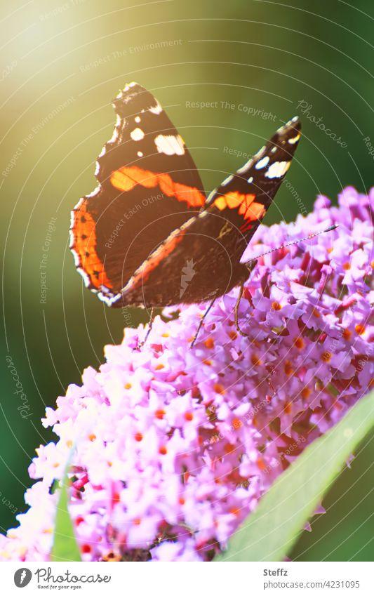 Der Admiral auf einem Schmetterlingsflieder heimisch Falter heimischer Schmetterling Edelfalter Blütenstrauch Schmetterlingsflügel Flügel Zierpflanze Buddleja