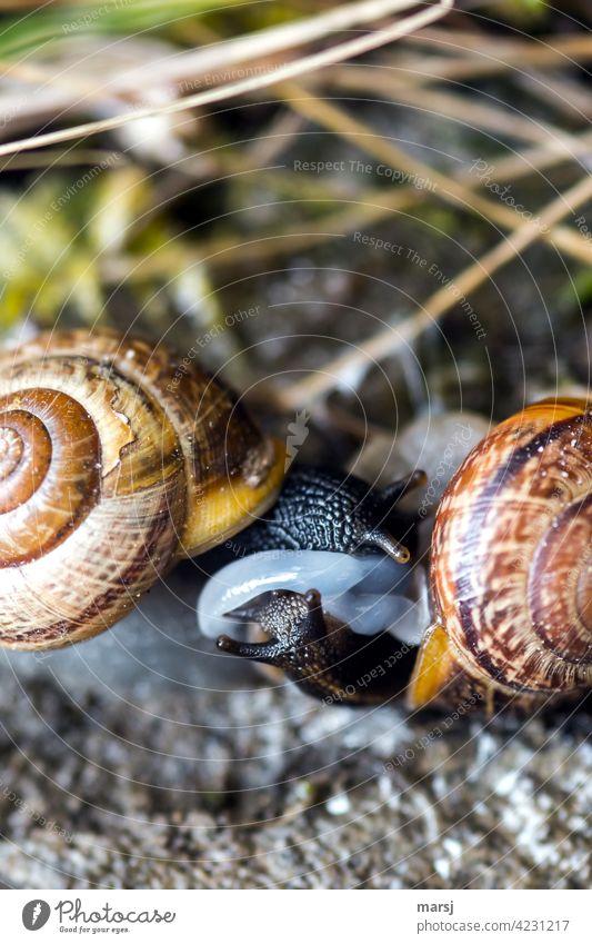 Gewöhnlicher Schneckensex? Zwei Häuschenschnecken beim Liebesspiel. Zusammensein anstrengen Sex Tierliebe natürlich Frühlingsgefühle 2 Genitalsystem