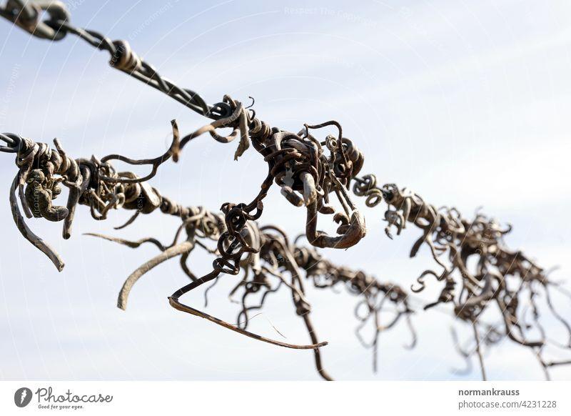 verdorrte Rebenranken rebranke weinpflanze weinranke weinstock umschlingen draht weinbau agrar festhalten landwirtschaft flora detail nahaufnahme natur