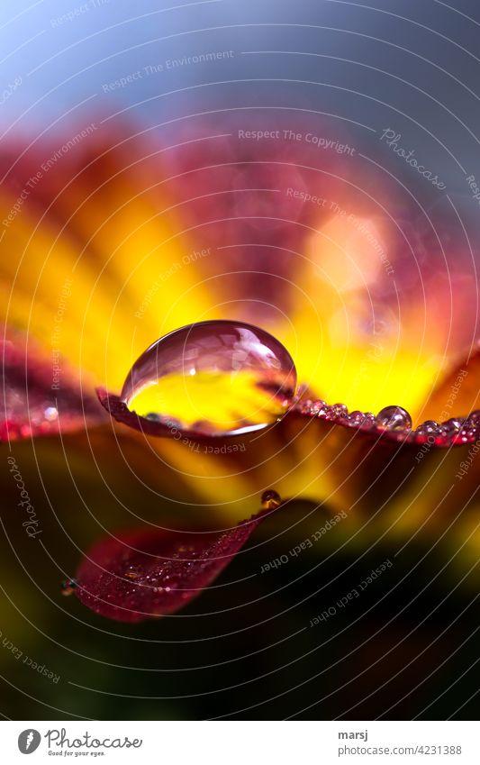 Ich gönne mir ein edles Wassertröpfchen auf einer leuchtenden Chrysanthemenblüte Wassertropfen Reflexion & Spiegelung nass Blüte Frühling Kontrast natürlich