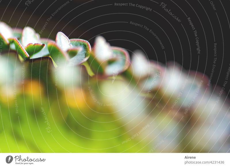 zahlreiche Nachkommenschaft Kalanchoe Sukkulente Brutblatt Bryophyllum Ableger grün Blatt Kinder Brutpflege Wachstum üppig Pflanze Natur natürlich exotisch