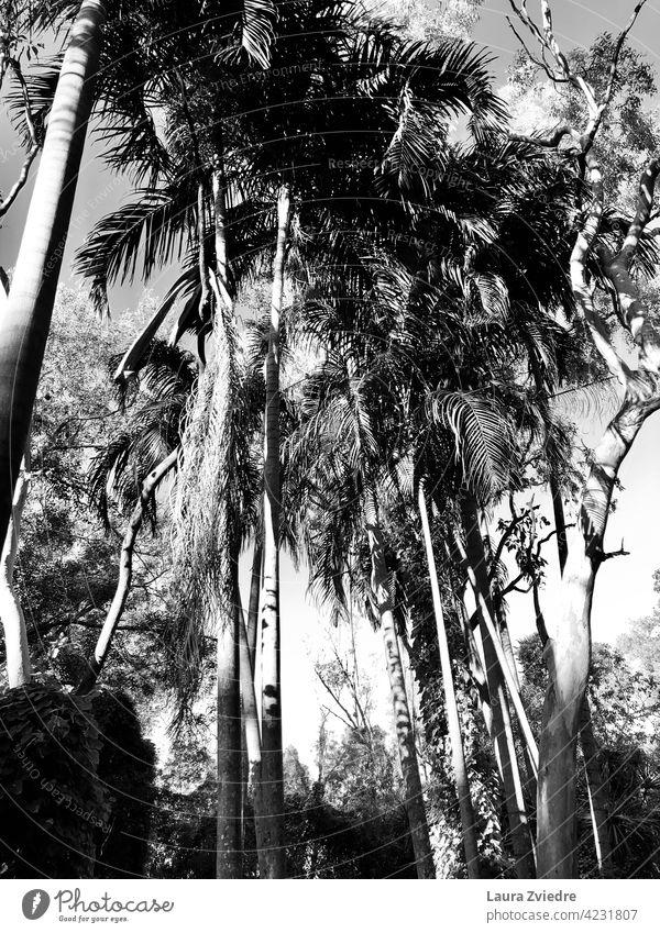 Schwarze und weiße Palmen Pflanze exotisch Tropen Palmenwedel Baum Handfläche Natur tropisches Klima Holz Blatt Schönes Wetter Sommer Ferien & Urlaub & Reisen