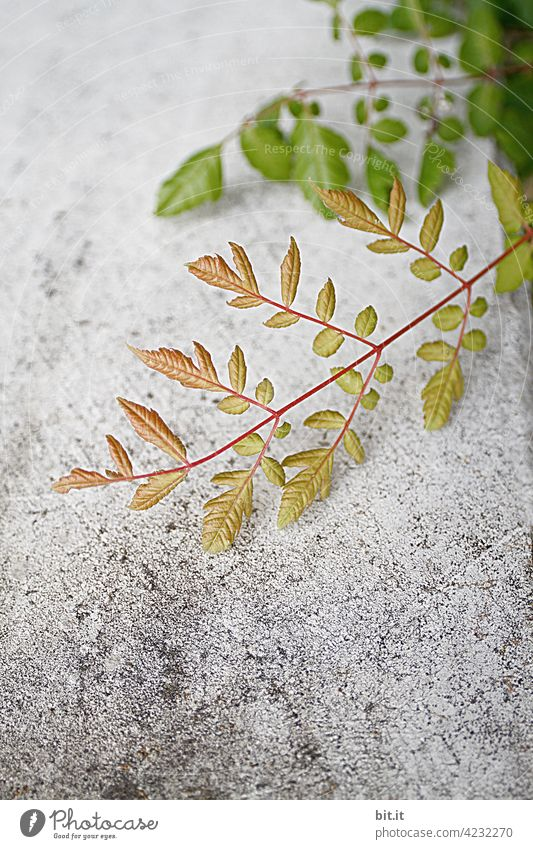 Ranking Ranke Pflanze wild Wildpflanze grün Grünpflanze Wand Mauer Mauerpflanze grau frisch Wachstum wachsen Natur Herbst Blatt Kletterpflanzen bewachsen