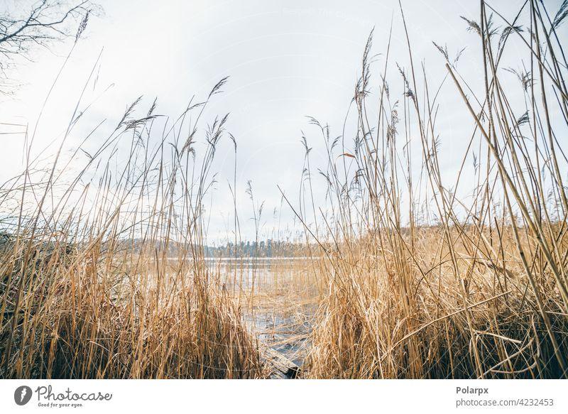 Hohe Binsen an einem idyllischen See im Herbst Windstille ländlich Vegetation Sumpf orange hell Winter Wolken Hintergrund grün Cloud schön Ansicht sonnig